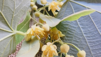 Linden tree's  flowers
